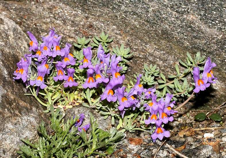 Linaria alpina - Alpen-Leinkraut - Scrophulariaceae - Felsschutt - gravel