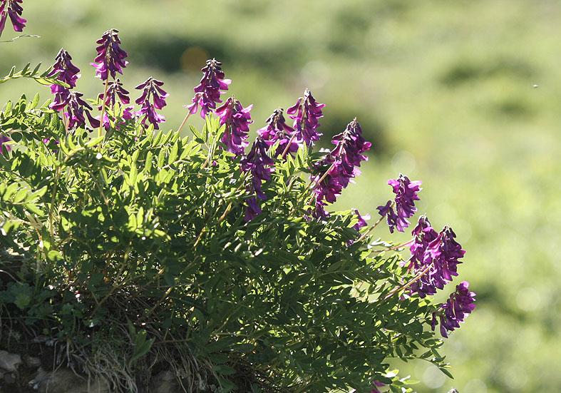 Hedysarum hedysaroides - Alpensüßklee - Fam. Fabaceae - Alpine Rasen - alpine grassland