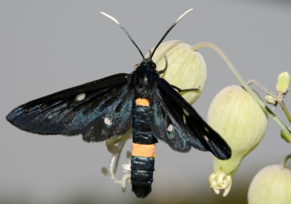 Amata phegea - Weißfleck-Widderchen -  - Arctiinae - Bärenspinner