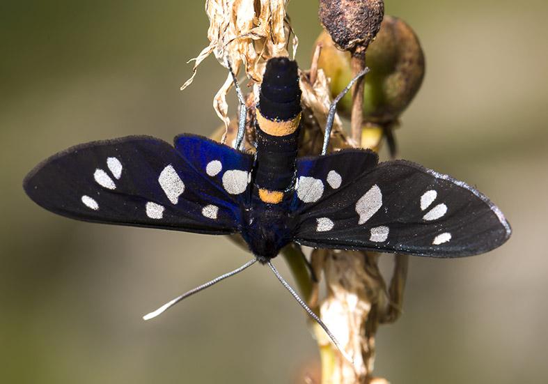 Amata phegea   -  Weißfleck-Widderchen  - Fam. Erebidae /Arctiinae   -  Zagori (Griechenland) - Nachtfalter - moths