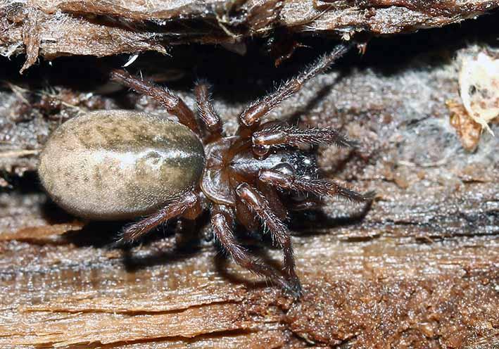 Amaurobius fenestralis  - Fam. Amaurobiidae - Finsterspinnen - Araneae - Webspinnen - orb-weaver spiders