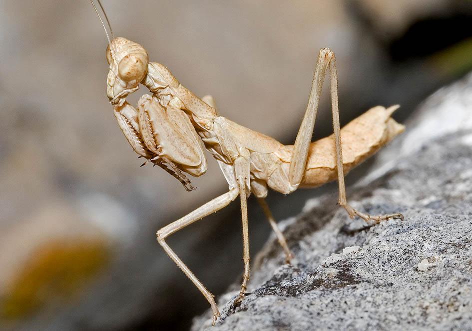 Ameles decolor - female - Kroatien - Mantodea - Fangschrecken - praying mantises