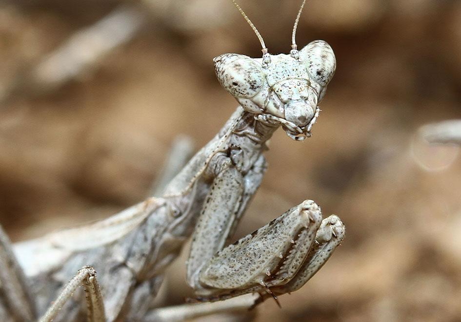 Ameles heldreichii - female - Andros - Mantodea - Fangschrecken - praying mantises