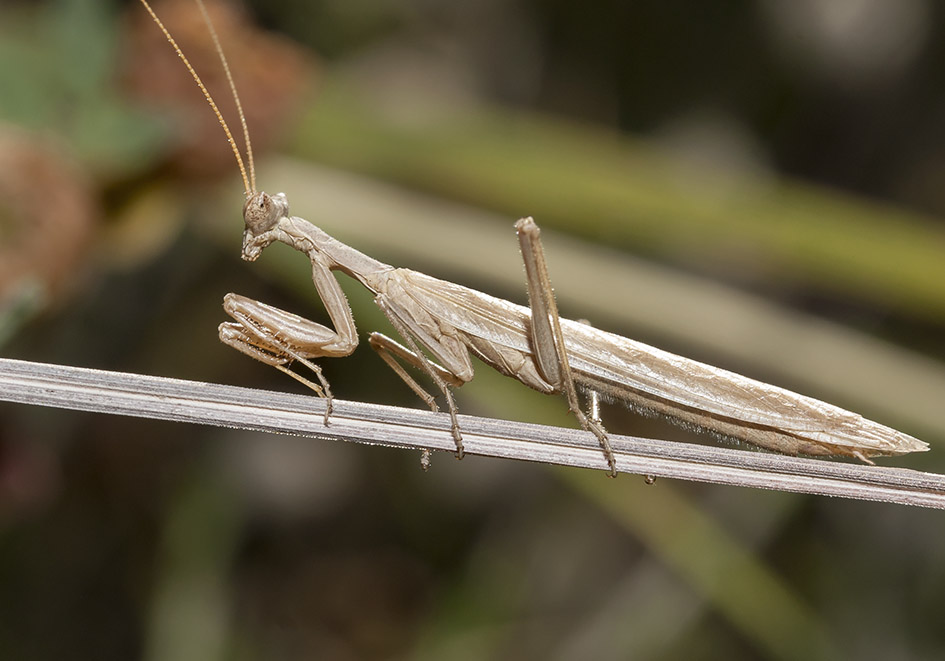 Ameles heldreichii - male - Milos - Mantodea - Fangschrecken - praying mantises