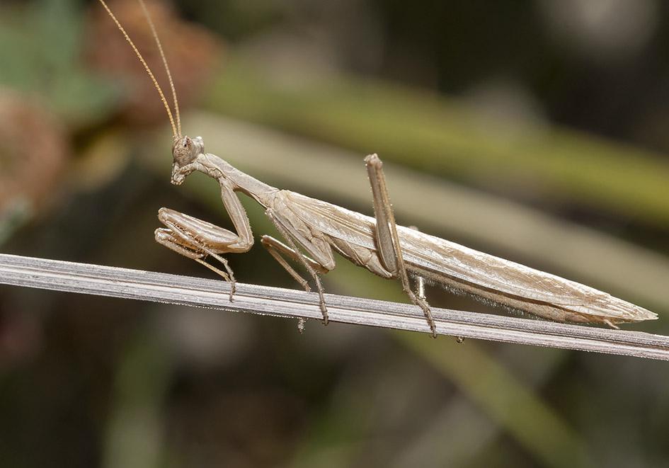 Ameles heldreichii - male - Milos - Mantodea - Fangschrecken - praying mantises