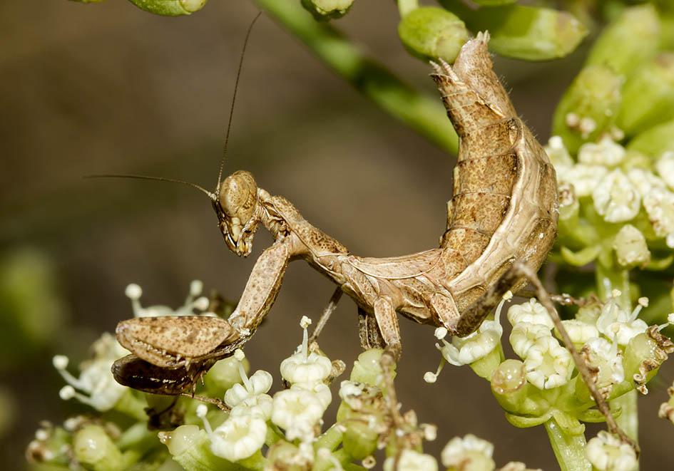 Ameles spallanzania - female - Sardinien - Mantodea - Fangschrecken - praying mantises