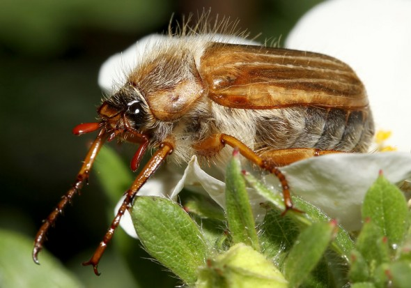 Amphimallon solstitiale  - Junikäfer - Gerippter Brachkäfer - Fam. Melolonthidae - Scarabaeoidea - Blatthornkäfer - scarab beetles