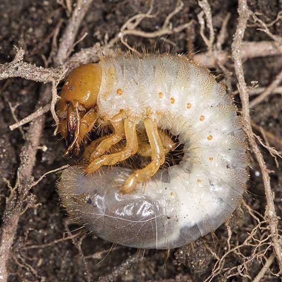 Amphimallon solstitiale - Gerippter Brachkäfer - Fam. Melolonthidae - Scarabaeoidea - Blatthornkäfer - scarab beetles