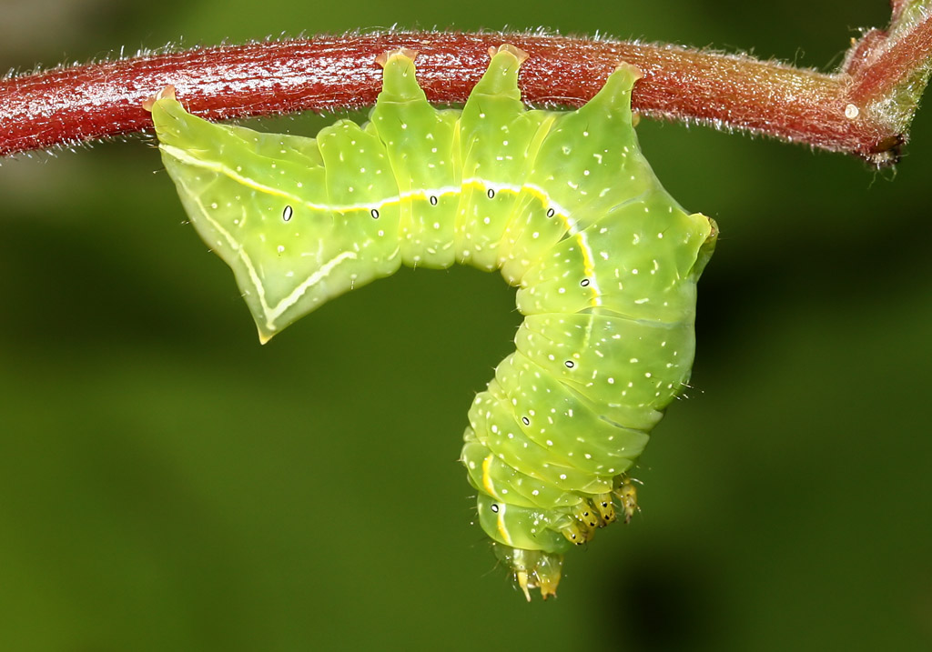 Amphipyra pyramidea - Pyramideneule  -  - Noctuidae - Eulen - owlet moths