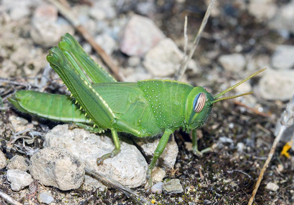 Anacridium aegypticum - Ägyptische Wanderheuschrecke - Larve - Fam. Acrididae/Cyrtacanthacridinae  - Sardinien - Caelifera - Kurzfühlerschrecken - grasshoppers
