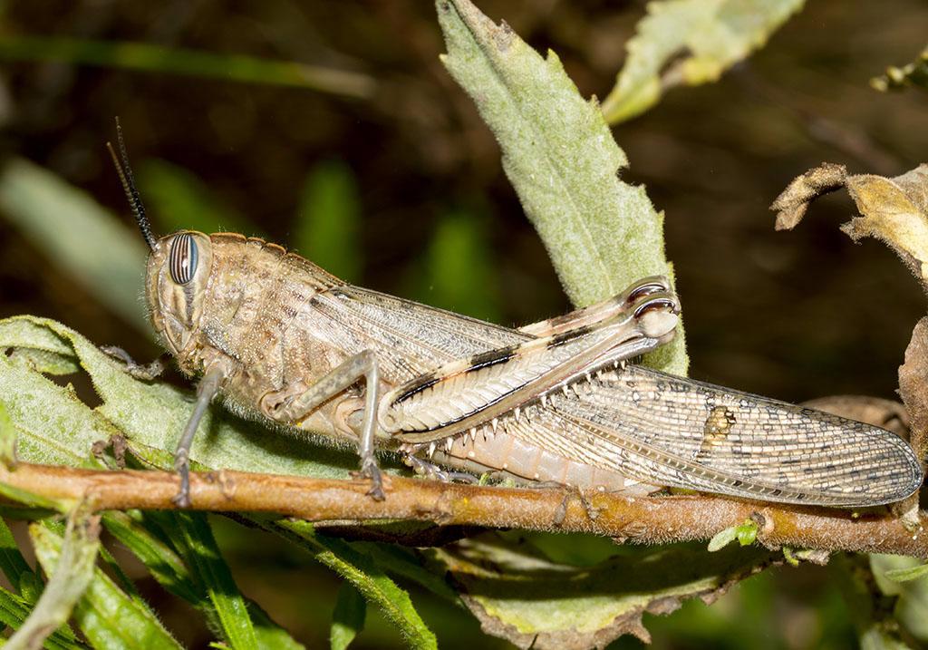 Anacridium aegypticum - Ägyptische Wanderheuschrecke - Fam. Acrididae/Cyrtacanthacridinae  - Sardinien - Caelifera - Kurzfühlerschrecken - grasshoppers