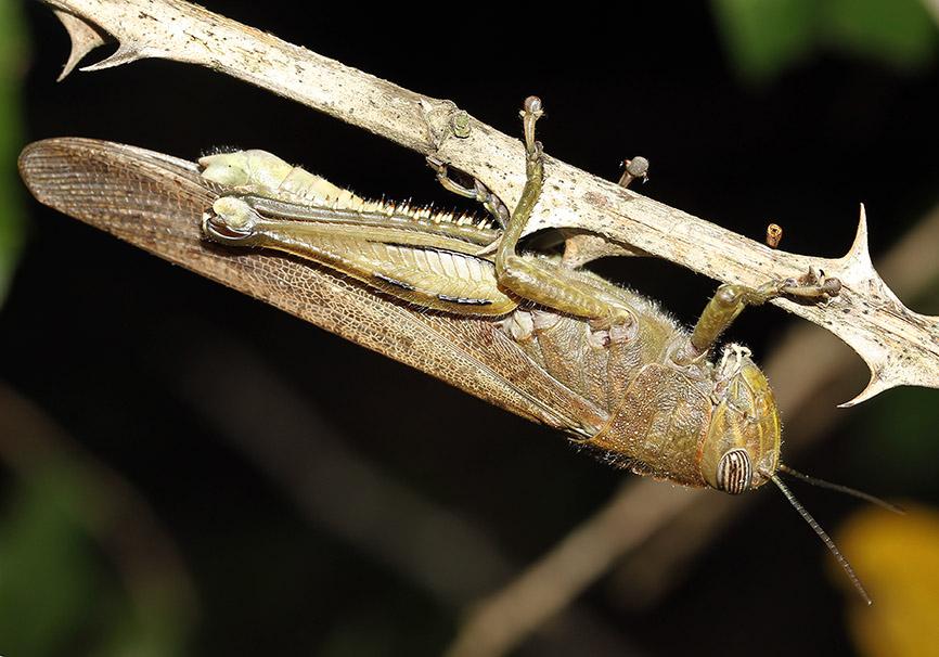 Anacridium aegypticum - Ägyptische Wanderheuschrecke - Fam. Acrididae/Cyrtacanthacridinae  - Toscana - Caelifera - Kurzfühlerschrecken - grasshoppers
