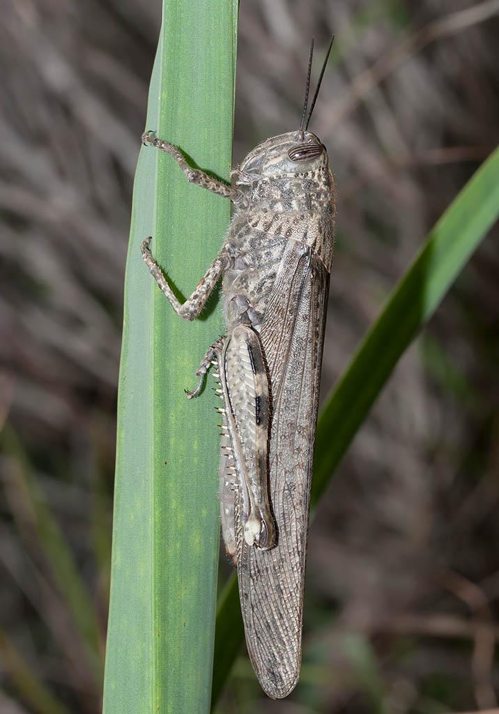 Anacridium aegyptium - Ägyptische Wanderheuschrecke - Fam. Acrididae/Cyrtacanthacridinae  -  Fourni - Caelifera - Kurzfühlerschrecken - grasshoppers