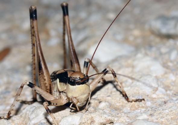 Anadrymadusa ornatipennis -  Samos - Ensifera - Tettigonidae - Laubheuschrecken - bush crickets