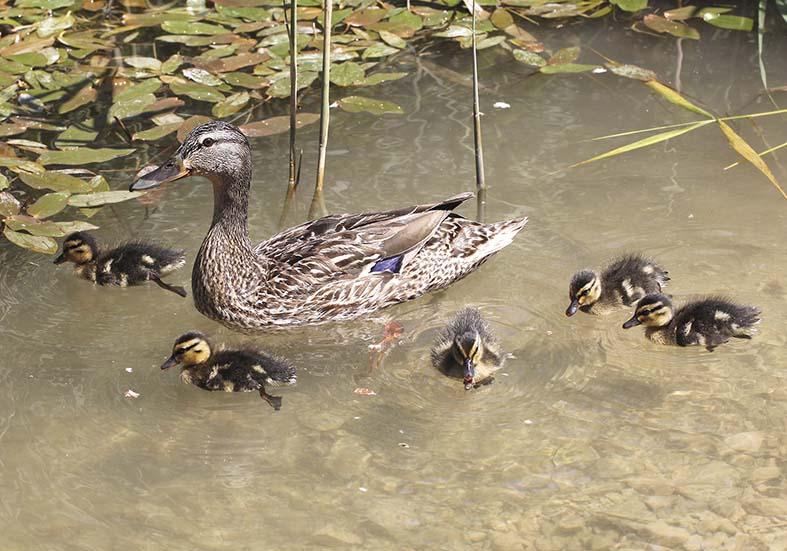 Anas platyrhynchos - Stockenten -  - Anatidae - Entenvögel - ducks, gees, swans