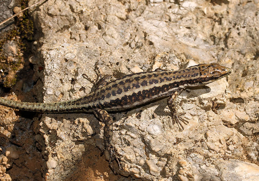 Anatololacerta anatolica aegaea - Samos - Lacertidae - Eidechsen - Lizards