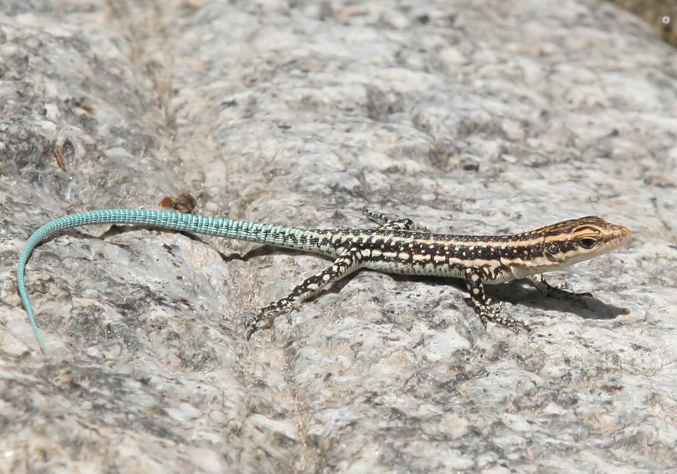 Anatololacerta oerzteni - Südwestanatolische Eidechse (juv.) - Symi - Lacertidae - Eidechsen - Lizards