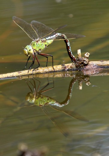 Anax imperator - Große Königslibelle (Eiablage) - Fam. Aeshnidae - Edellibellen - Anisoptera - Großlibellen - dragonflies