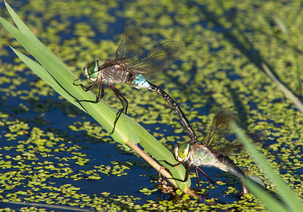 Anax parthenope - Kleine Königslibelle - Fam. Aeshnidae  -  Sardinen - Anisoptera - Großlibellen - dragonflies
