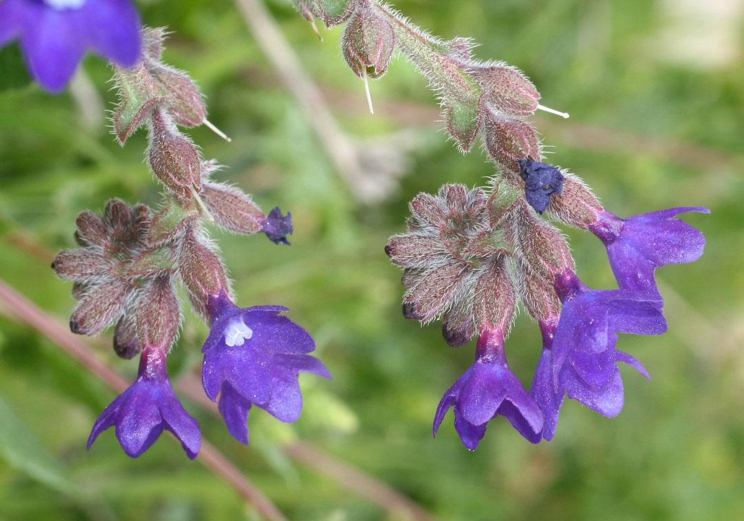 Anchusa undulata hybrida -Hybrid-Ochsenzunge -  - Ruderal vegetation