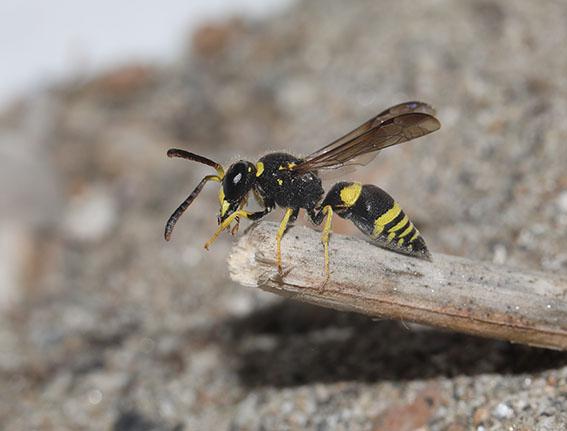 Ancistrocerus renimaculata -  - Vespidae - Faltenwespen - wasps