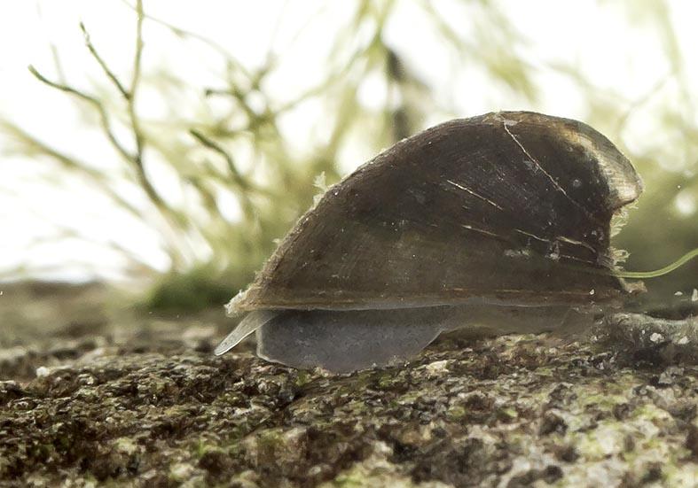 Ancylus fluviatilis - Flussnapfschnecke - Fam. Planorbidae Tellerschnecken - Basommatophora - Wasserlungenschnecken
