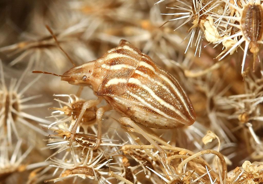 Ancyrosoma leucogrammes - Ankerwanze - Fam. Pentatomidae  -  Kykladen - Heteroptera - Wanzen - true bugs