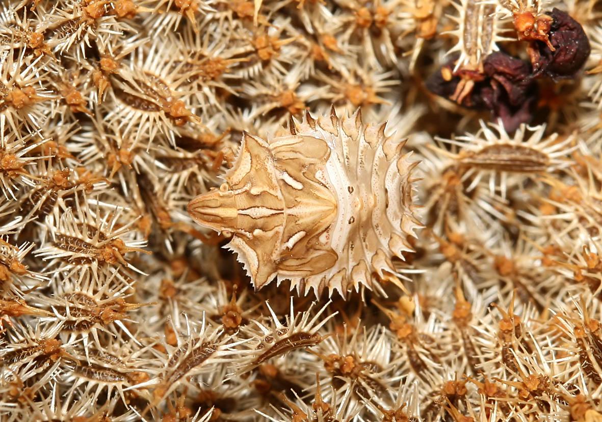 Ancyrosoma leucogrammes - Ankerwanze (Nymphe)  - Fam. Pentatomidae  -  Kykladen - Heteroptera - Wanzen - true bugs