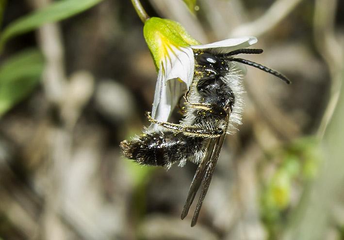 Andrena bicolor -  - Apidae - Andreninae - Bienen - bees