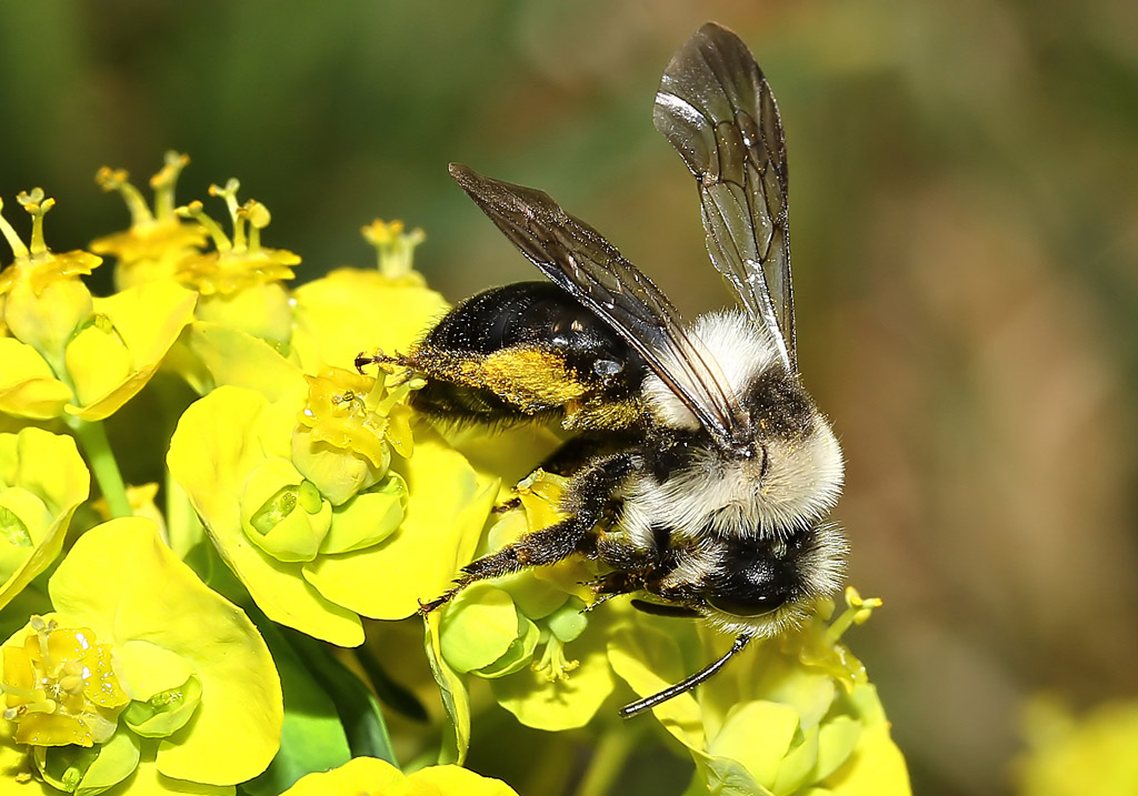 Andrena cineraria - Graue Sandbiene -  - Apidae - Andreninae - Bienen - bees