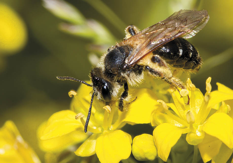 Andrena dorsata - Sandbiene -  - Apidae - Andreninae - Bienen - bees