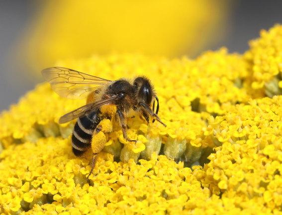Andrena flavipes - Gemeine Sandbiene - Weibchen - female - Apiformes - Andrenidae - Bienen - bees