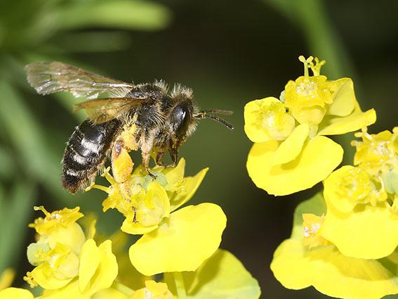 Andrena gravida - Weiße Binden-Sandbiene -  - Apiformes - Andrenidae - Bienen - bees