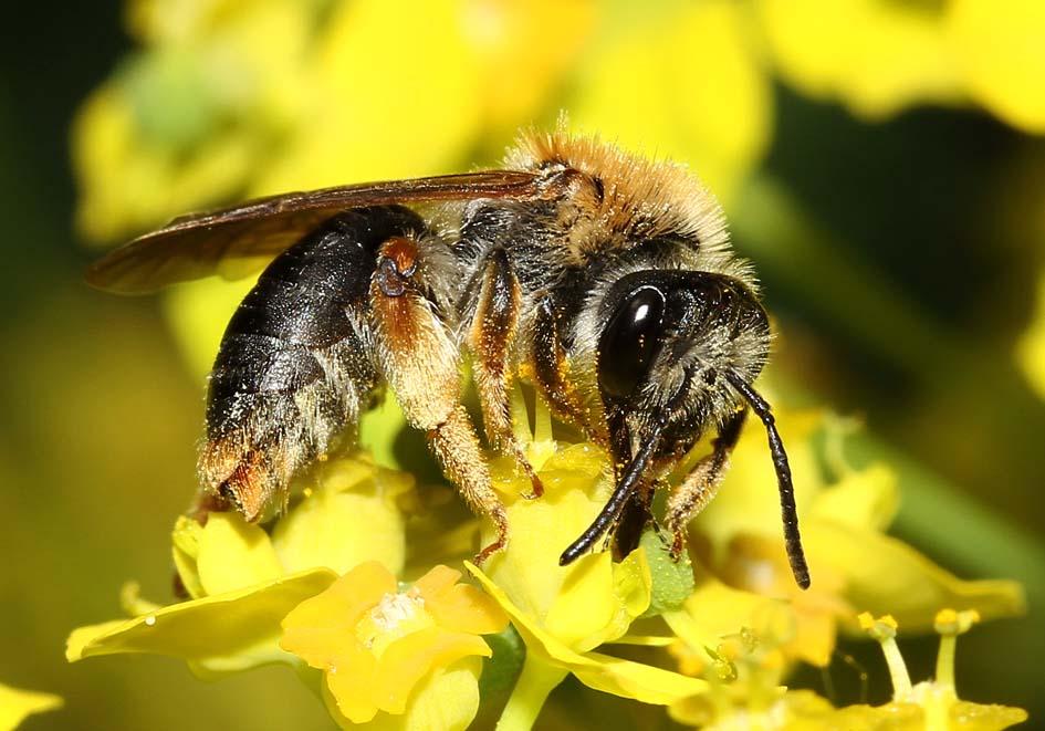 Andrena haemorrhoa - Rotschopfige Sandbiene -  - Apidae - Andreninae - Bienen - bees