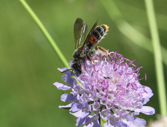 Andrena hattorfiana - Witwenblumen-Sandbiene - Weibchen - female - Apiformes - Andrenidae - Bienen - bees
