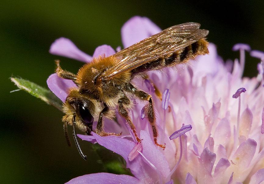 Andrena hattorfiana - Witwenblumen-Sandbiene - Männchen - male - Apidae - Andreninae - Bienen - bees