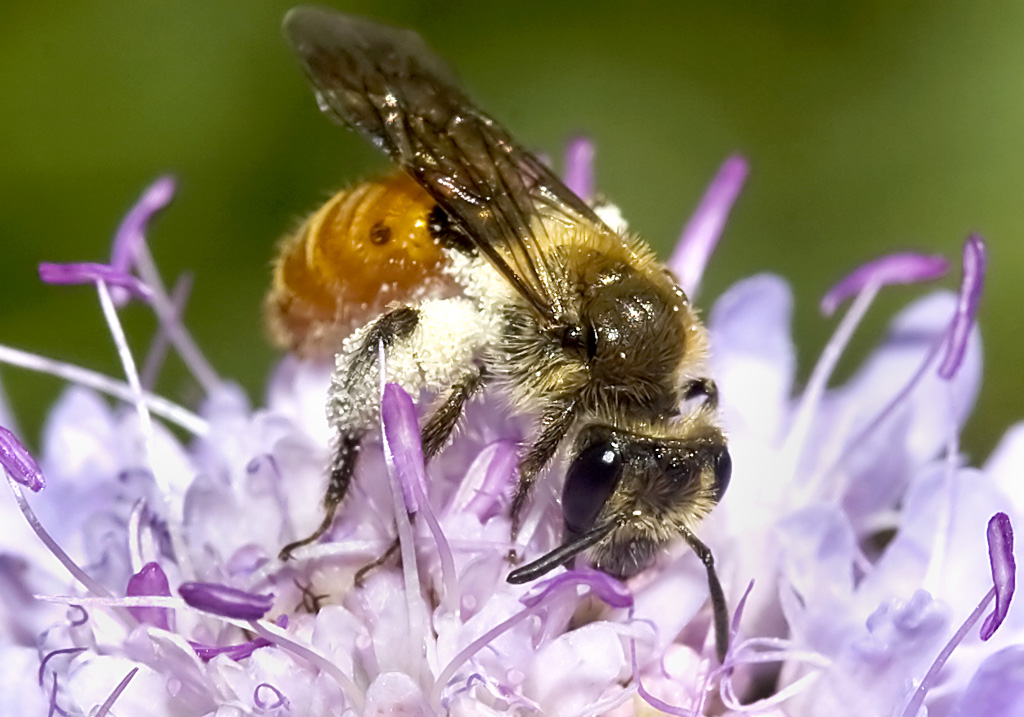 Andrena marginata - - Skabiosen-Sandbiene -  - Apidae - Andreninae - Bienen - bees