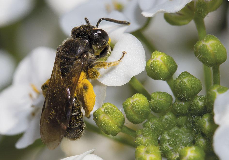 Andrena minutula - Kleine Sandbiene -  - Apidae - Andreninae - Bienen - bees