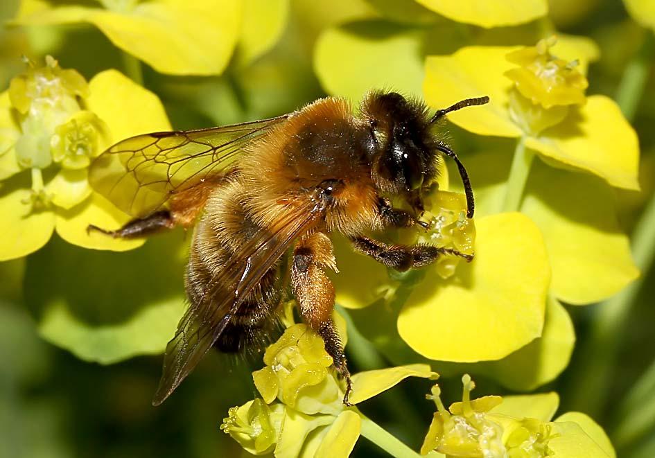Andrena nigroaenea - Sandbiene -  - Apidae - Andreninae - Bienen - bees