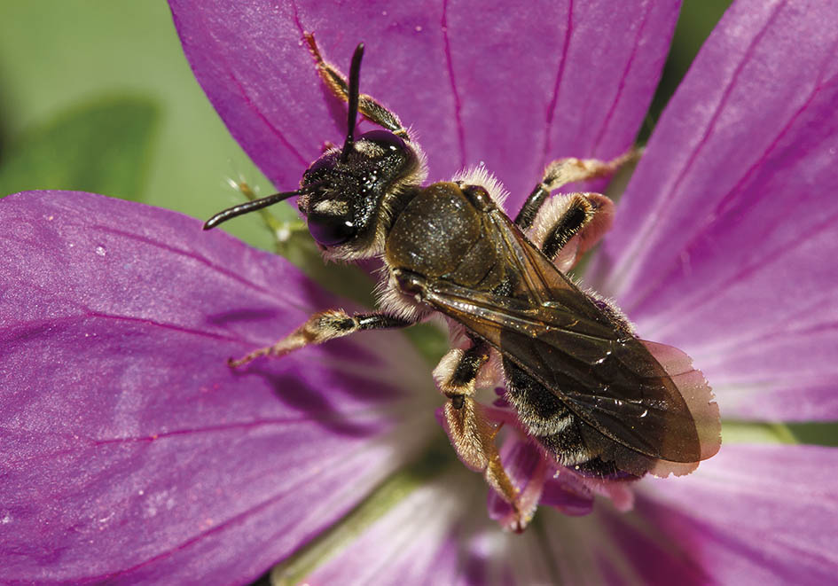 Andrena pandellei - Grauschuppige Sandbiene -  - Apidae - Andreninae - Bienen - bees