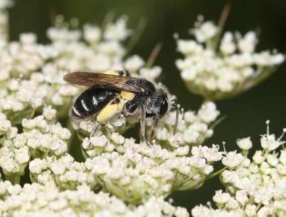 Andrena proxima - Frühe Doldensandbiene -  - Apiformes - Andrenidae - Bienen - bees