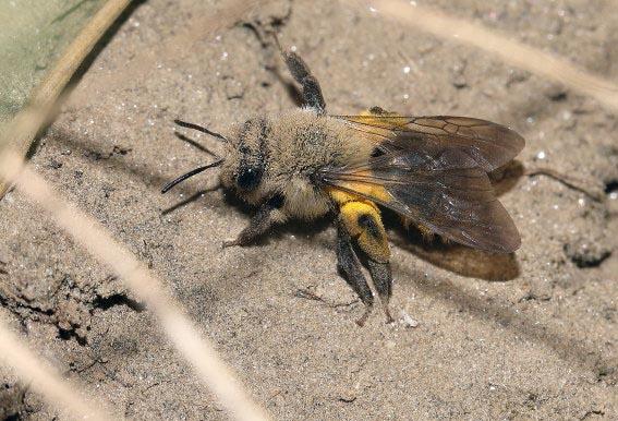 Andrena vaga - Weiden-Sandbiene -  - Apiformes - Andrenidae - Bienen - bees