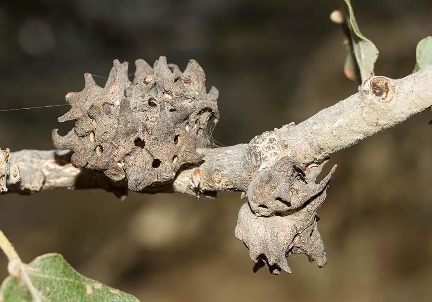 Andricus coriarius - Quercus bubescens - Flaumeiche (Naxos) - Cynipidae - Gallwespen - gall wasps