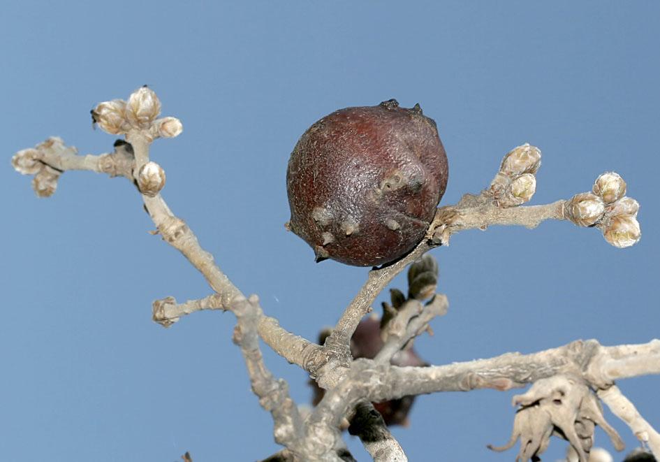 Andricus quercustozae - Adamsapfel - Quercus bubescens - Flaumeiche (Naxos) - Cynipidae - Gallwespen - gall wasps
