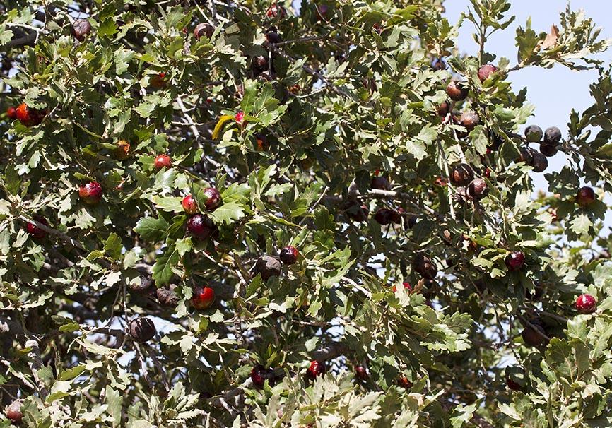 Andricus quercustozae - Quercus ithaburensis  Walloneneiche (Naxos) - Cynipidae - Gallwespen - gall wasps