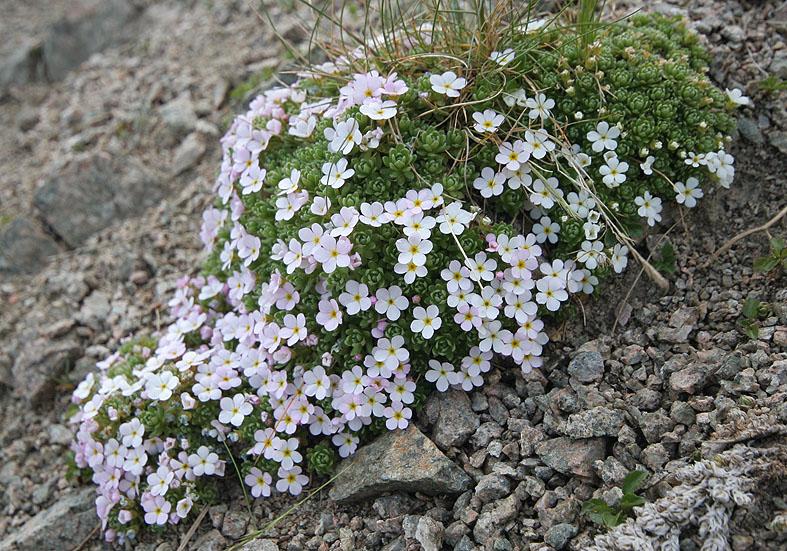 Androsace alpina - Alpenmannsschild - Fam. Primulaceae - Subnivale Zone / Schneetälchen