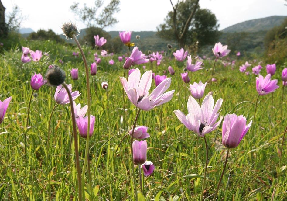 Anemone coronaria - Kronen-Anemone - crown anemone -  - Gras- und Felsfluren - grassy and  rocky terrains