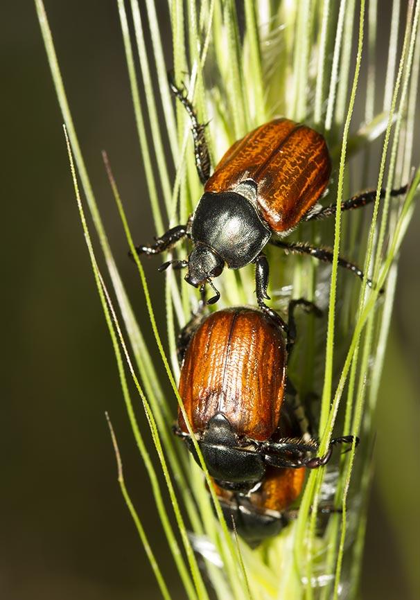 Anisoplia sp.   - Getreidelaubkäfer - Fam. Rutelidae  -  Meteora - Tessalien - Scarabaeidea - Blatthornkäfer - scarab beetles