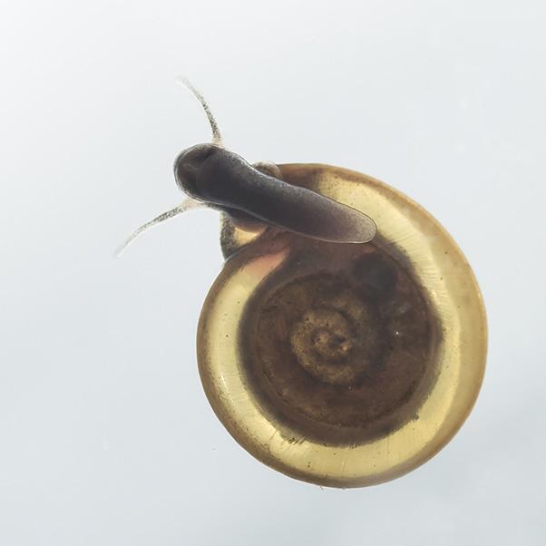 Anisus spirorbis - Gelippte Tellerschnecke - Fam. Planorbidae - Tellerschnecken - Basommatophora - Wasserlungenschnecken
