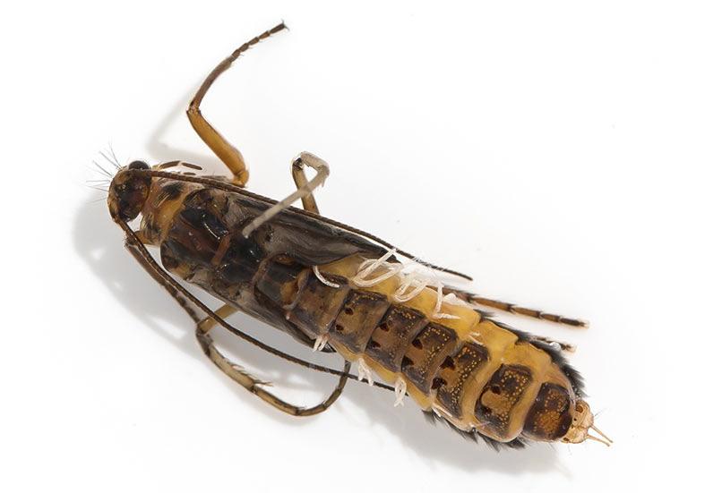 Annitella obscurata - Puppe -  - Trichoptera - Köcherfliegen - daddisflies